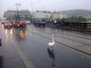 Labuť v Praze