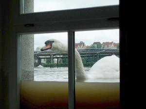 Labuť za oknem